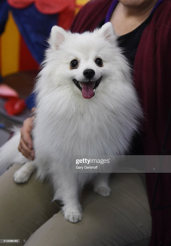 Mary, a two and a half year old Toy American Eskimo attends the 7th Annual AKC Meet The Breeds at Pier 92 on February 13, 2016 in New York City.