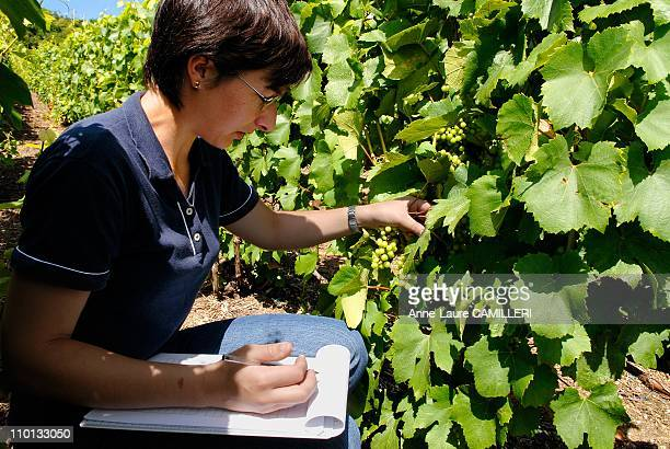Mary technician of the CIVC between vine rows note the different evolutions of the grapes for different treatments applied to fight against the odium...
