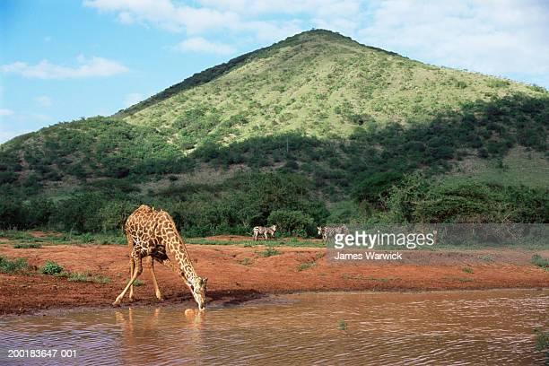 Masai giraffe drinking at waterhole