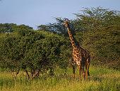 Masai Giraffe in Tarangire National Park, Tanzania