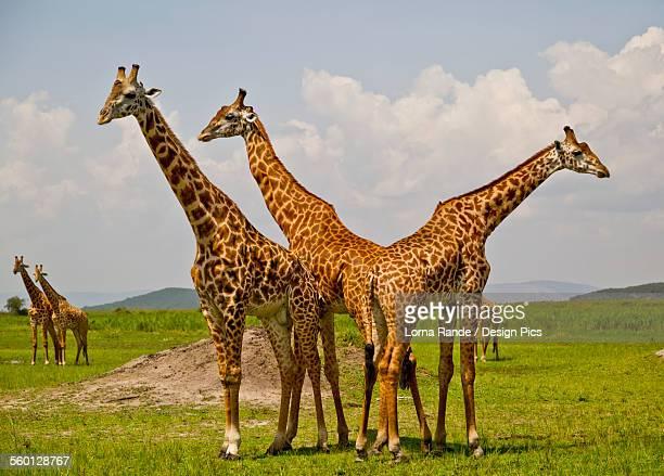 Masai Giraffes, Akagara Game Park