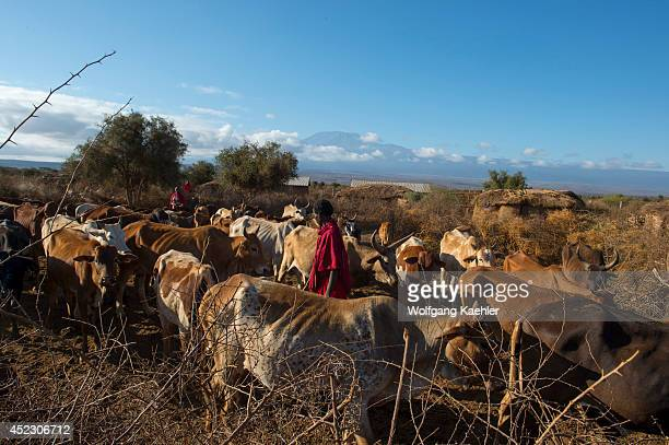 Masai men herding cattle out of a corral inside a Masai village near Amboseli National Park in Kenya to graze during the day
