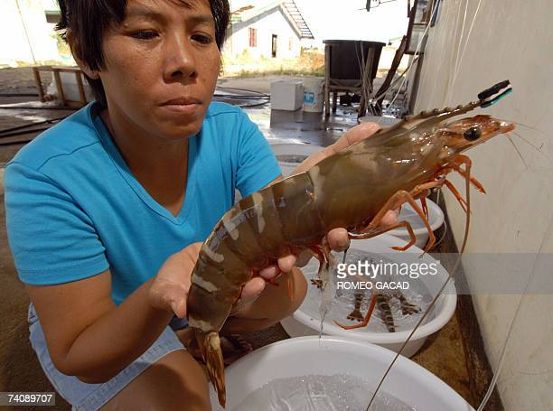 CrownB farm prawn hatchery manager Sharon Sarasin holds up a black tiger mother prawn 15 April 2007 they commercially culture in their farm in the...