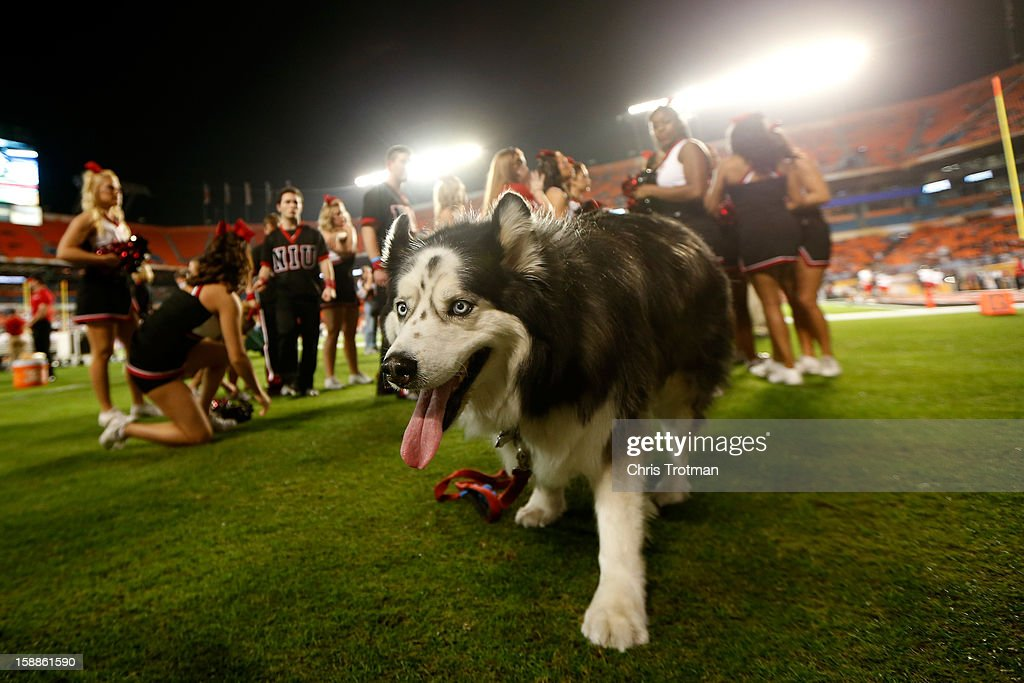 A mascot for the Northern Illinois Huskies is seen on the field against the Florida State Seminoles during the Discover Orange Bowl at Sun Life Stadium on January 1, 2013 in Miami Gardens, Florida.