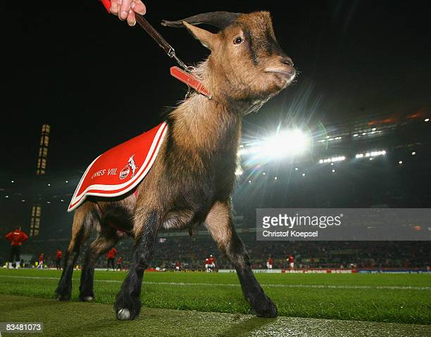 Mascot Hennes the eight is seen before the Bundesliga match between 1 FC Koeln and Borussia Dortmund at the RheinEnergie stadium on October 29 2008...