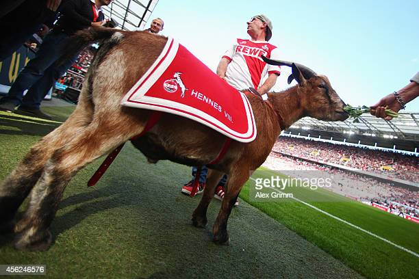 Mascot Hennes VIII of Koeln prior to the Bundesliga match between 1 FC Koeln and FC Bayern Muenchen at RheinEnergieStadion on September 27 2014 in...