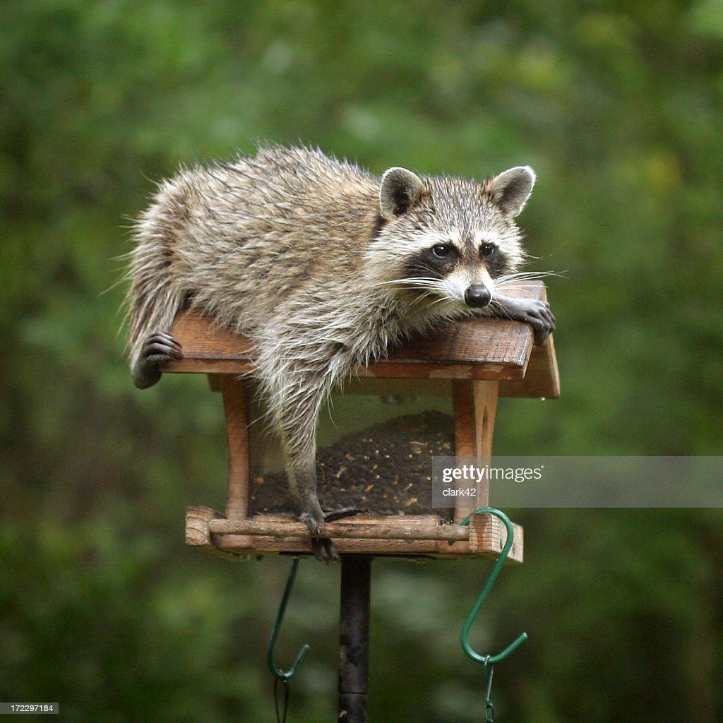 Raccoon relaxing on top of bird feeder