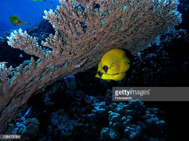 Masked Butterfly Fish (Chaetodon semilarvatus) hidding under a table coral. HUrghada. Red sea. Egypt