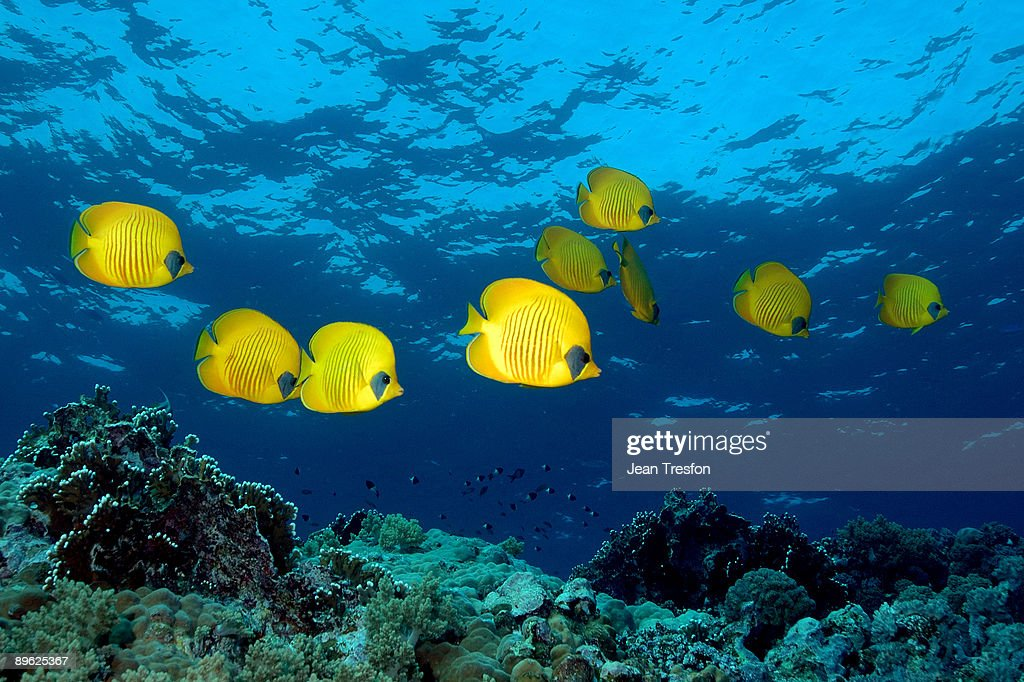 Masked butterfly fish : Stock Photo