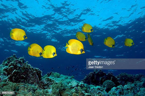 Pesci tropicali foto e immagini stock getty images for Pesce rosso butterfly
