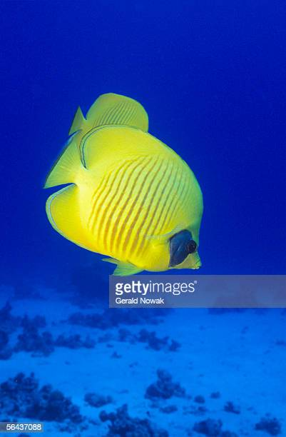 Masked butterflyfish (Chaetodon semilarvatus), close-up, underwater view