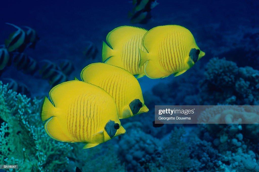 Masked butterflyfish (Chaetodon semilarvatus) : Stock Photo