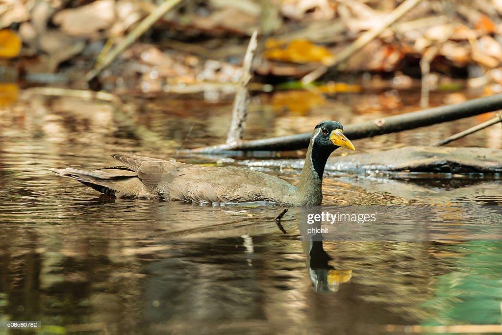 Masked Finfoot bird [Heliopais personatus] : Stock Photo