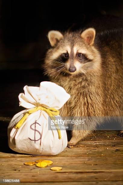 Masked raccoon bandit