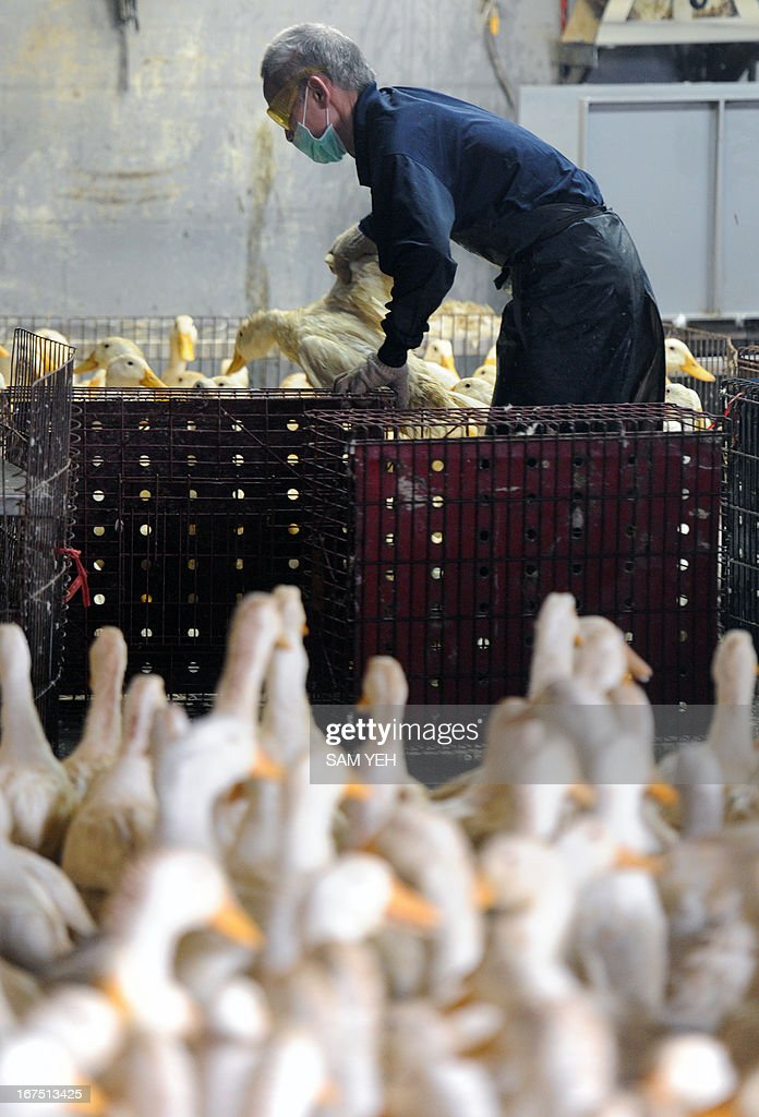 A masked staff member of a poultry market sorts out ducks in Taipei on April 26, 2013. Asian countries on April 25 urged renewed vigilance against a spread of H7N9 bird flu after Taiwan reported a case of the deadly strain, the world's first outside mainland China. AFP PHOTO / Sam Yeh