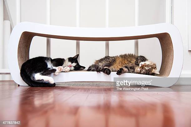 Mason and Porky take a catnap upstairs at Crumbs Whiskers DC's first cat cafe before a Kickstarter's donor party June 15 2015 in Washington DC
