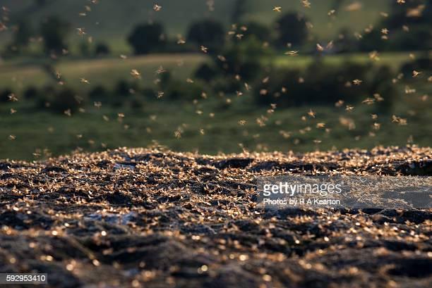 Mass of flying ants on rocks at dusk
