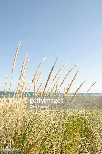USA, Massachusetts, Nantucket, Close-up shot of stems of marram grass with sandy beach in background