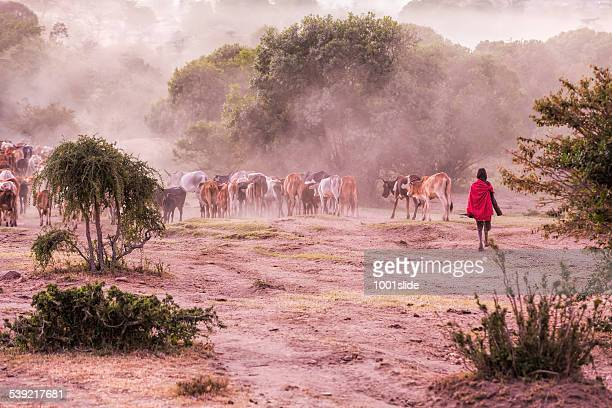 Massai Herder and Cattles