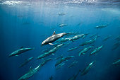 Massive aggregation of bottlenose dolphins (tursiops sp) chase after baitfish, Darwin Island, Galapagos, Ecuador