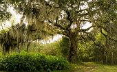 The massive Live oak tree draped in Spanish moss in the low country of South Carolina