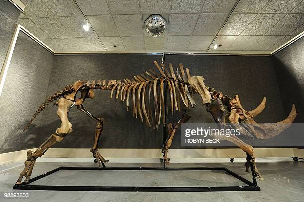 A massive woolly rhinoceros skeleton from the Pleistocene epoch is on display before sale at auction May 6 2010 in Los Angeles Bonhams Butterfields...