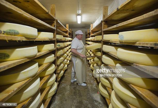 A master cheese maker controls Comte cheeses into the maturing cheese cellar on March 11 2015 in Loray eastern France Thanks to the protection...