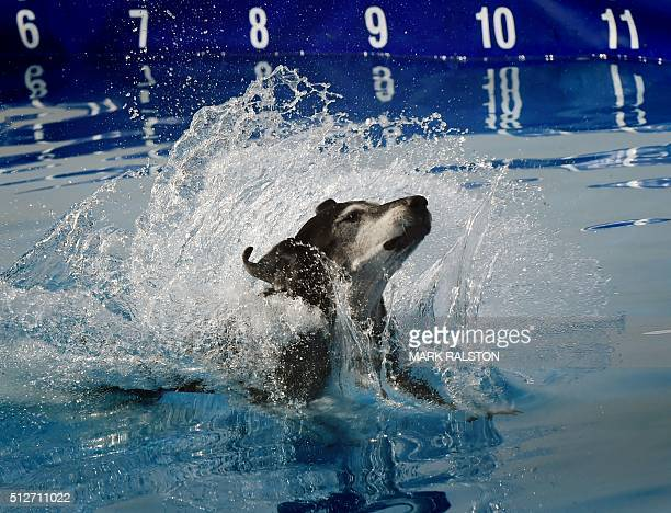 Master class dog 'Tessa' lands in the water after her leap during the Dock Dogs West Coast Challenge in Bakersfield California on February 26 2016...