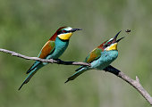 Two European bee-eaters sits on an inclined branch on a blurred green background in bright sunlight. One bird hold a bee in its beak