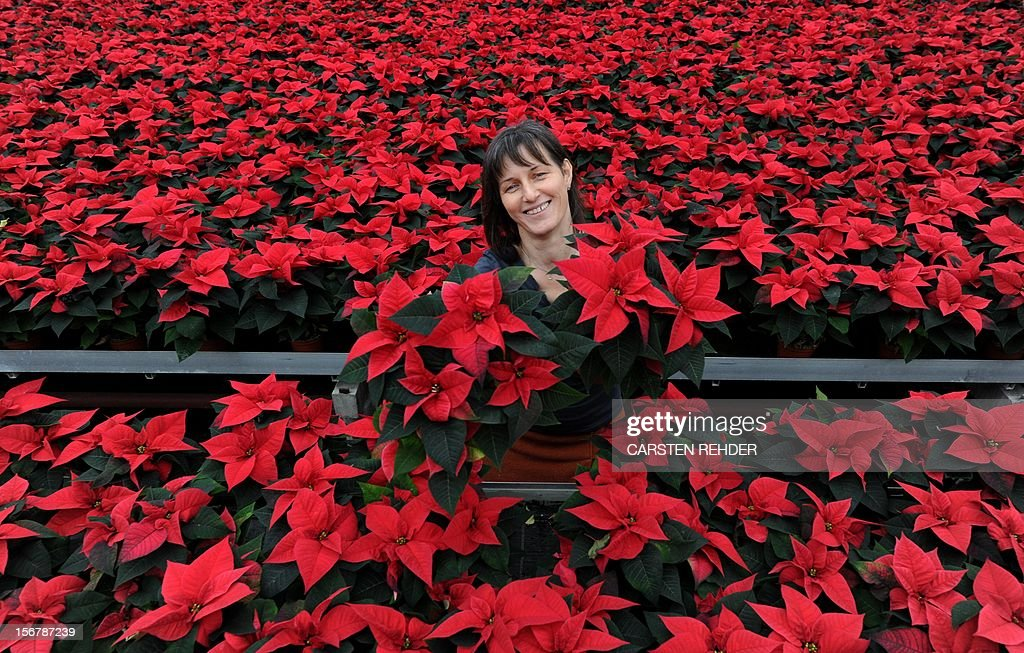 Master florist Michaele Edert stands amidst poinsettias in a garden center in Goennebek, Germany, on November 21, 2012. The poinsettia is Germany's most favorite blooming house plant despite the fact that it is only being sold in November and December. Around 36 million Christmas flowers are sold throughout Germany every season.