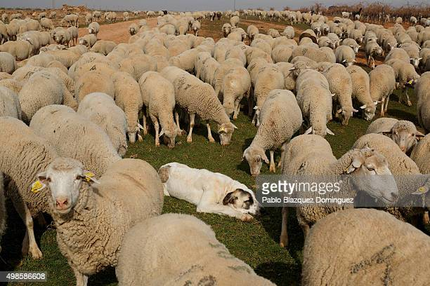 A mastiff dog lays on the ground as the sheep herd walks along the Canada Real Conquense o de los Serranos on November 20 2015 near Socuellamos in...