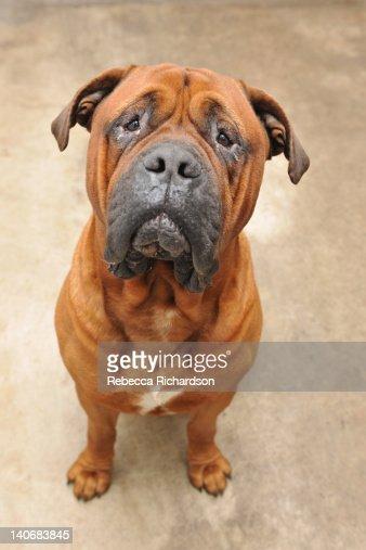 Mastiff dog : Stock Photo