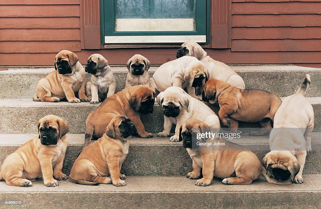 Mastiff Puppies : Stock Photo
