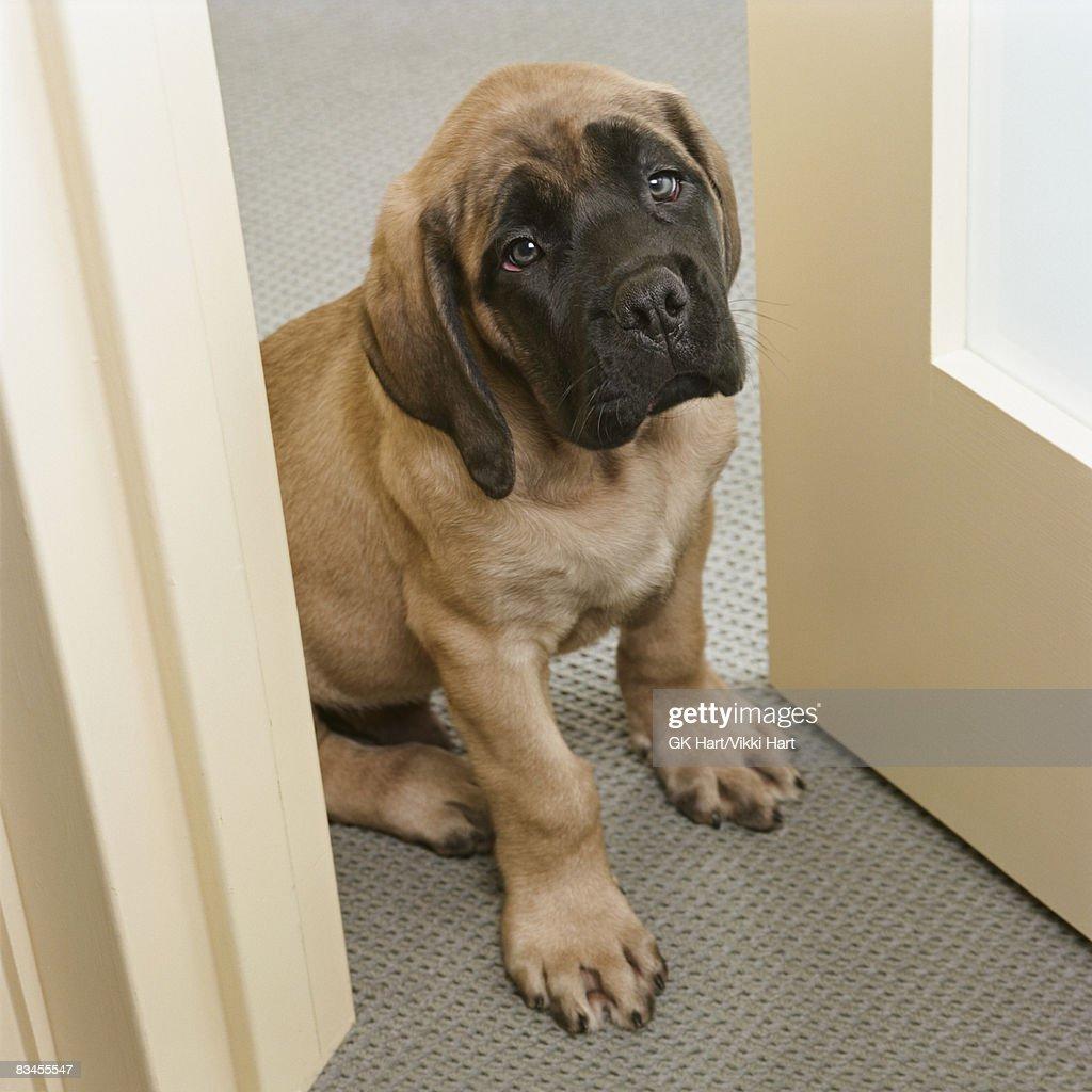 Mastiff puppy waiting at door : Stock Photo