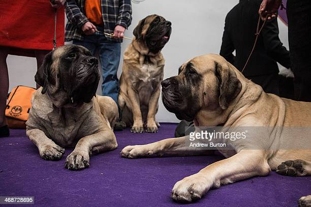 Mastiffs wait to compete during the Westminster Dog Show on February 11 2014 in New York City The annual dog show has been showcasing the best dogs...