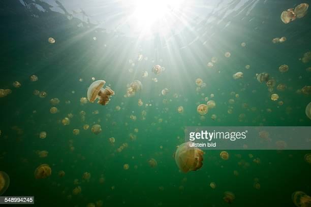 Mastigias Jellyfish in Jellyfish Lake Mastigias papua etpisonii Jellyfish Lake Micronesia Palau