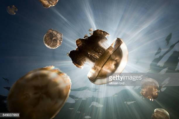 Mastigias Jellyfish Mastigias papua etpisonii Jellyfish Lake Micronesia Palau