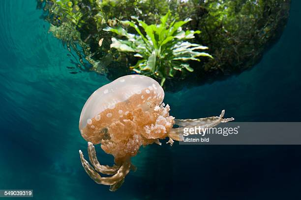 Mastigias Jellyfish Matigias papua Risong Bay Micronesia Palau