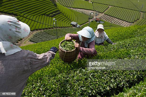 Masumi Moriuchi collects baskets of freshly picked tea leaves from workers on her farm on May 1 2014 in Shizuoka Japan Japan produces aproximately...