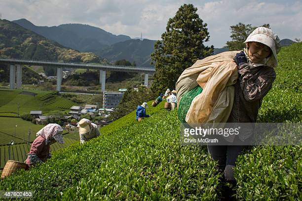 Masumi Moriuchi collects freshly picked tea leaves at her farm on May 1 2014 in Shizuoka Japan Japan produces aproximately 100000 tons of green tea...