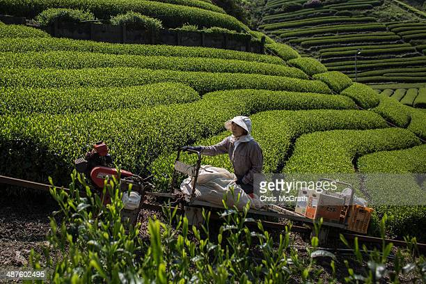 Masumi Moriuchi rides a cart to the top of her tea plantation at her farm on May 1 2014 in Shizuoka Japan Japan produces aproximately 100000 tons of...