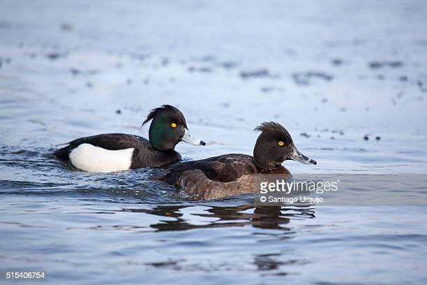Mated pair of tufted duck (Aythya fuligula) on a lake