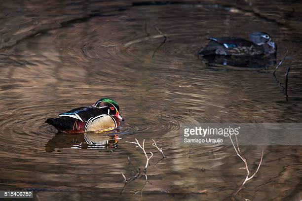 Mated pair of wood ducks on lake