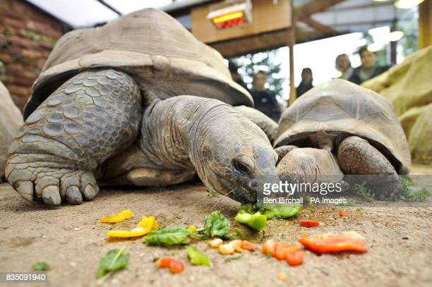Matilda a young female Aldabran giant tortoise enjoys a meal with Biggie the giant tortoise at Bristol Zoo Gardens after their scheduled meeting on...