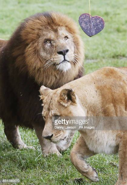 Mating African Lions Dudley and Saskia enjoy a Valentine's Day heart made from frozen horse blood at Blair Drummond Safari Park in Scotland