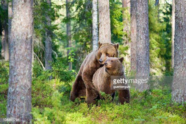 Mating Brown Bears, early morning light, very rare wildlife-shot