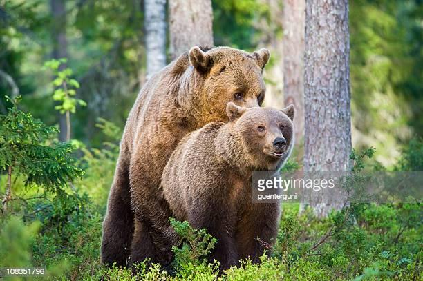 S'accoupler l'ours brun, tôt le matin de lumière naturelle, très rare-Image