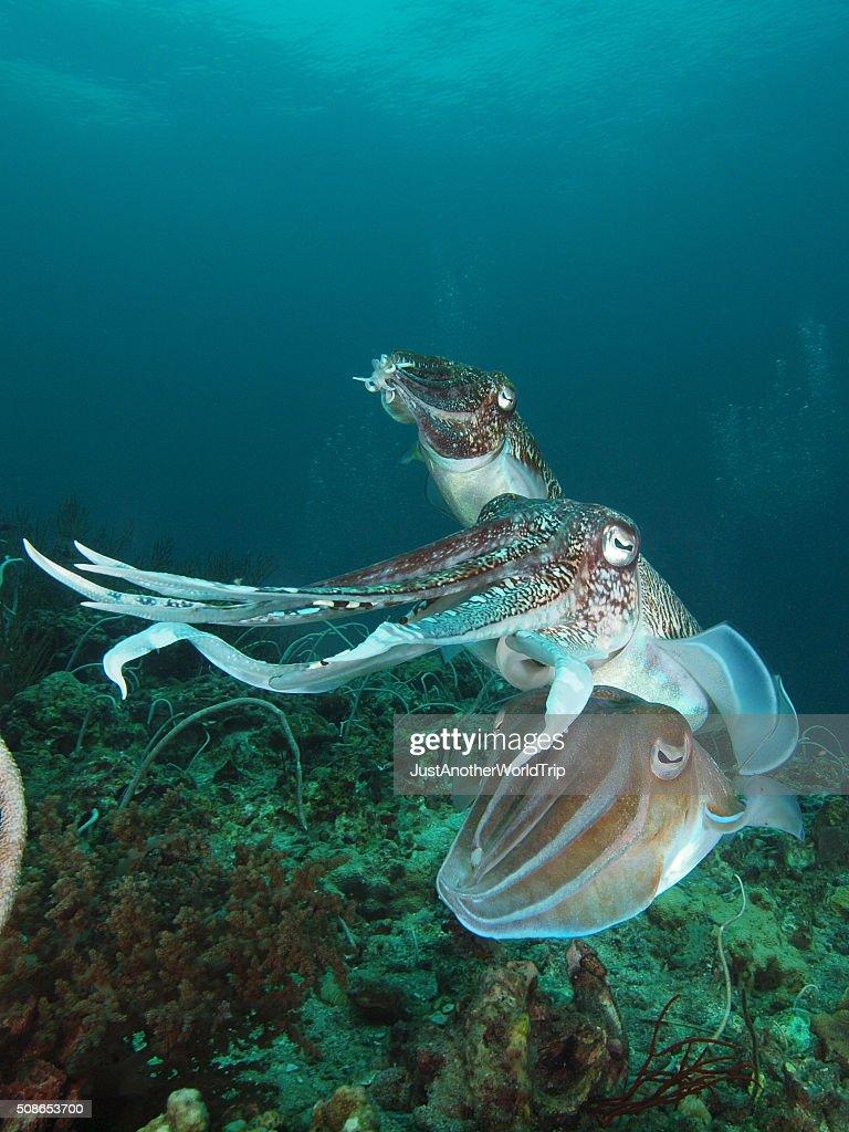 mating cuttlefish : Stock Photo