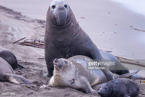 Mating Elephant Seals