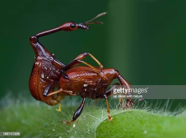 Mating giraffe weevils